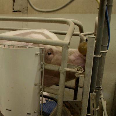 En sugga står i en bur där hon inte ens kan vända sig om.