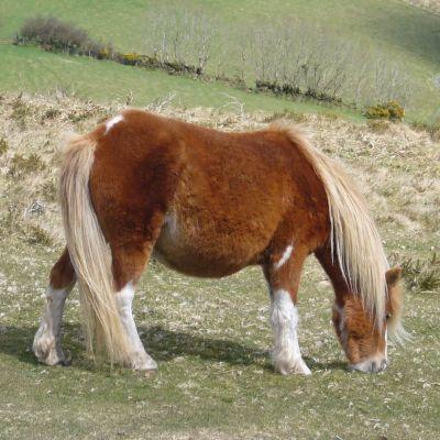 Dartmooreponnyn är utrotningshotad i Storbriannien