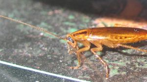 Tysk kackerlacka (Blattella germanica).