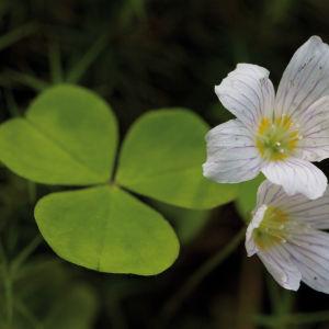 Blommande harsyra