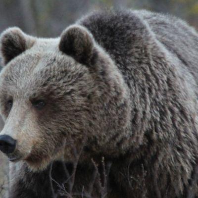 255 karhun metsästys alkaa sunnuntaina.