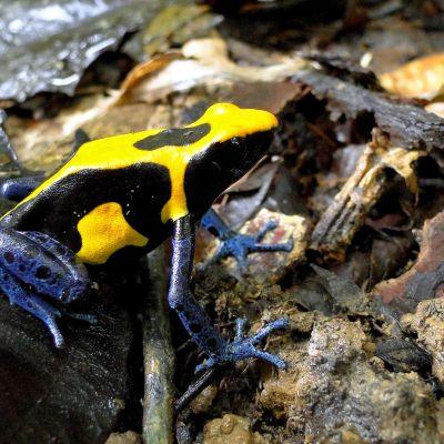 Dendrobates tinctorius lajin sammakko tutkijatohtori Bibiana Rojas Zuluangan ottamassa kuvassa.