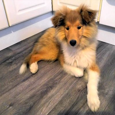 Koiranpentu lattialla.