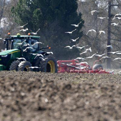 Lokit seuraavat pellolla äestävää traktoria matojen toivossa
