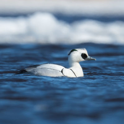 Lintu ui vedessä.