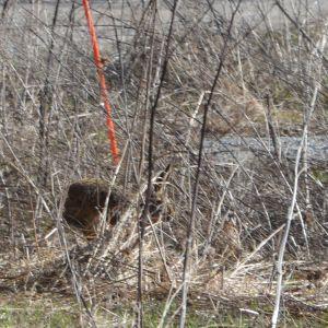 En hare i kårlax