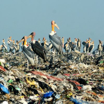 Assaminmarabut istuvat Borgaonin alueen jätevuorella Guwahatissa Assamin osavaltiossa Intiassa.