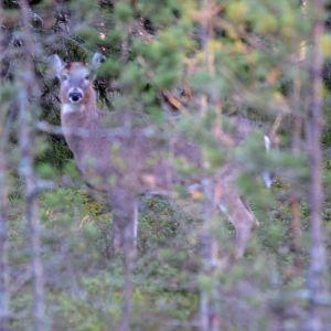 En vitsvanshjort inne i ett buskage.