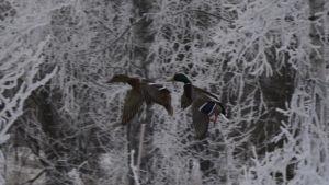 Sinisorsat lentävät talvella