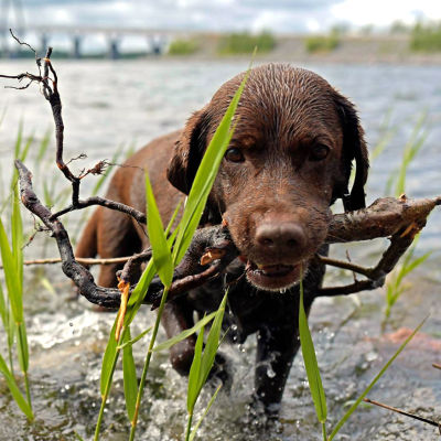 Hund kommer upp ur vattnet med käpp i munnen, i bakgrunden ståtar Replotbron.