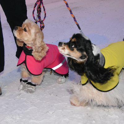 Kaksi koiraa lumisella tiellä talvimanttelit selässä.