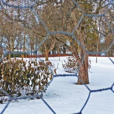 Arboretumin ruusutarhan ympärille pystytettiin talven ajaksi verkko suojaamaan jäniksiltä.