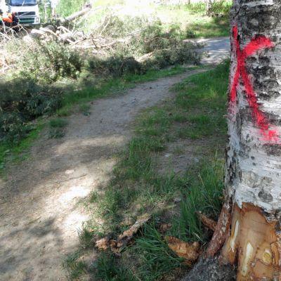 Karhunkaatajantien vanhat koivut ovat saaneet kaatotuomion merkiksi ristin runkoonsa.