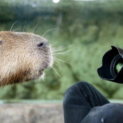 Kapybara eli vesisika on maailman suurin jyrsijä tuijottaa valokuvaajaa Singaporen eläintarhassa