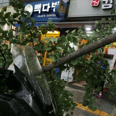 Taifuunin kaatama puu. Taustalla kauppoja.