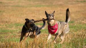 Anton ja Miida koirat juoksevat kepin kanssa. Keppi on Miidalla suussa ja Anton yrittää ottaa sitä pois.