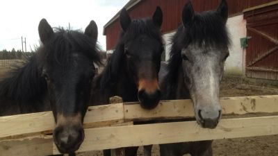 Tre hästar i Stall Hagelund i Lovisa