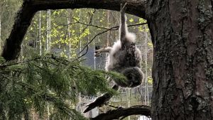 Pöllönpoikanen roikkuu puusta.