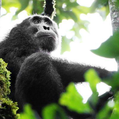 Simpanssi istuu puussa kibalen kansallispuistossa Ugandassa.