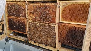 Mehiläspesä ja mehiläisiä