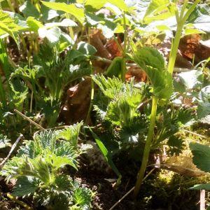 Villivihanneksia: Nokkonen ja vuohenputki