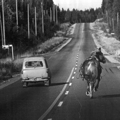 Bil och häst på väg. Hästen rymmer.