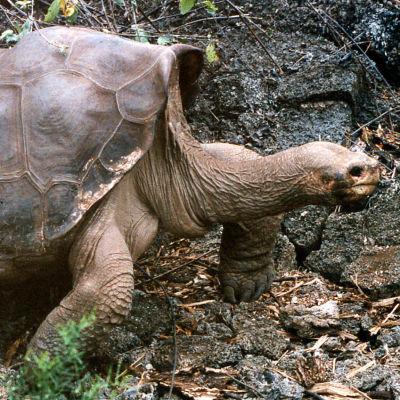 Den berömda sköldpaddan ensamme George på Galapagosöarna