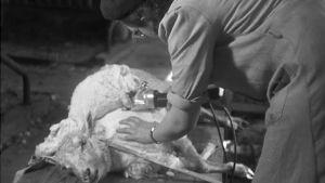 Lampaan keritseminen ei vie monta minuuttia