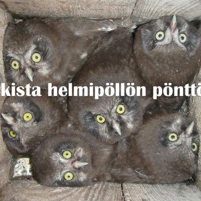 helmipöllön poikaset pöntössä