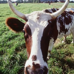 Kuvassa lehmä laitumella. Kuva: Touko Yrttimaa, Yle