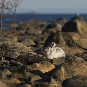 valkoinen metsäjänis rantakivikossa