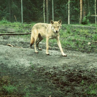 Varg i Ähtäri djurpark