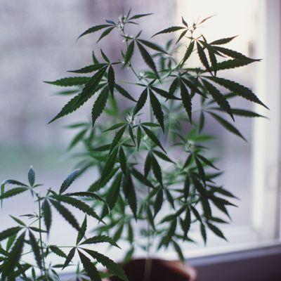 Kannabis-planta på fönsterbräda