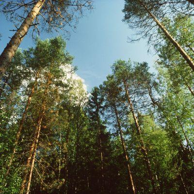 Mäntyjä ja lehtipuita keväisessä metsässä