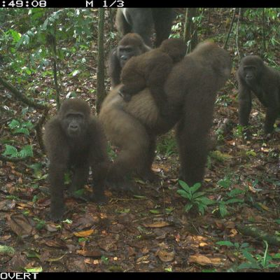 YHDEN KERRAN KÄYTTOIKEUS Cross River gorilla group including adults and young of different ages Mbe Mountains, Nigeria June 2020. RCNX0475.JPG