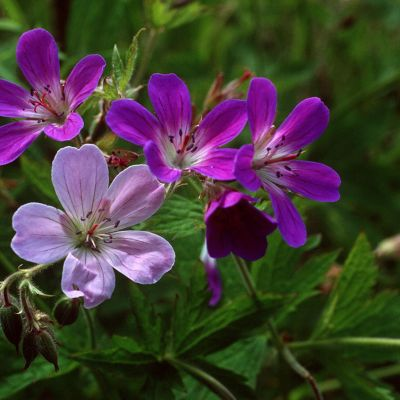 Metsäkurjenpolvi (Geranium sylvaticum)