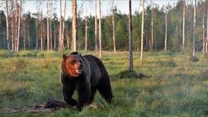 Björn i skog