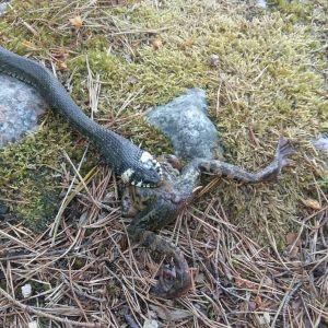 Hej från Emsalö Kan snoken svälja denna groda eller kommer snoken att få ett tragiskt slut, undrar Hasse Öhberg