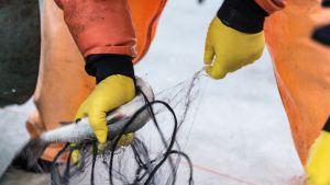 Fiskare tar loss fisk från nät