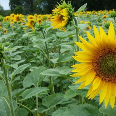 Auringonkukkia pellolla.