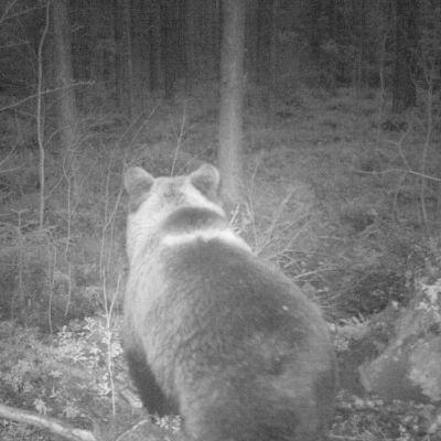 Björn med en vit rand över pälsen på ryggen.