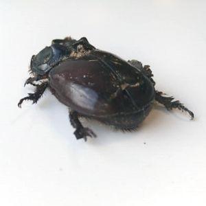 En stor mörkbrun skalbagge utan huvud, bredvid en linjal som visar 5cm.