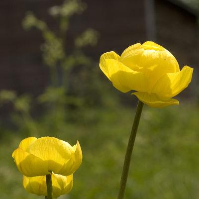 Blommande bullerblomster