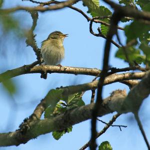 Pajulintu laulaa puussa.