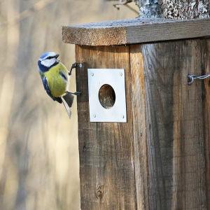 Sinitiainen maaliskuussa, tarkastelee linnunpöntön aukolla pönttöä.