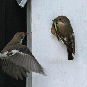 Kirsjosiepot linnunpöntöllä