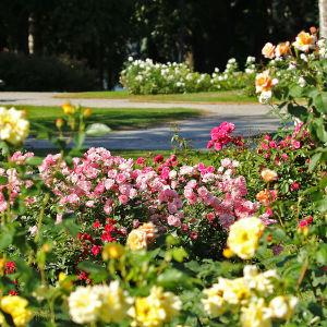 Erivärisiä ruusulajikkeita Hatanpään arboretumin ruusutarhassa Tampereella.