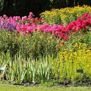 Erivärisiä elokuun kukkivia perennoja Hatanpään arboretumissa Tampereella.