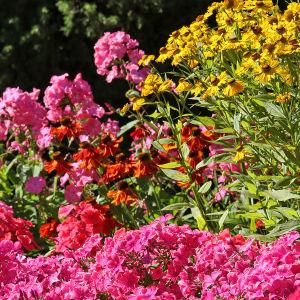 Elokuussa kukkivia punaisia ja keltaisia perennoja  Hatanpään arboretumissa Tampereella
