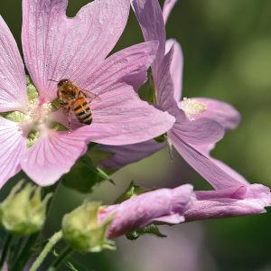 Mehiläinen harmaamalvikin kukassa